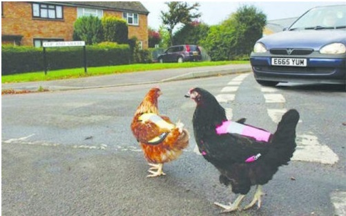 reflective safety vest for chicken
